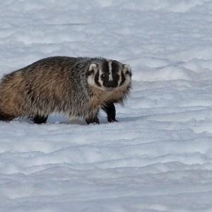 badger0007