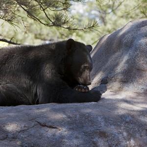 bear0001