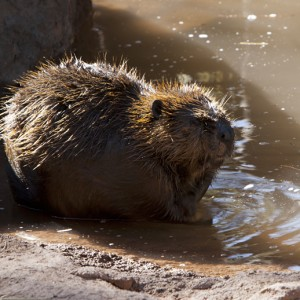 beaver0003