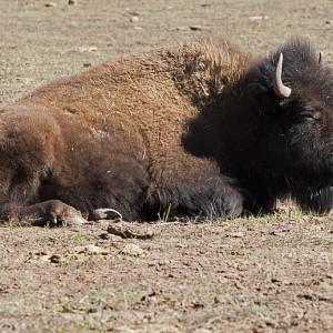 buffalo0004