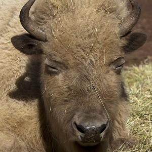 buffalo0005