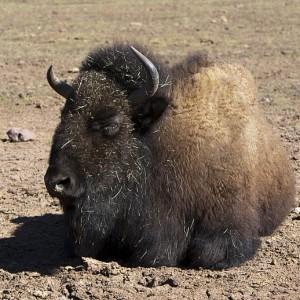 buffalo0006