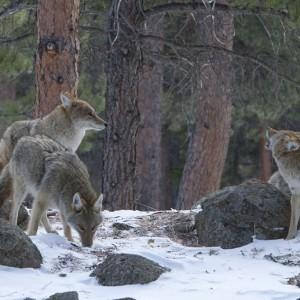 coyote0005