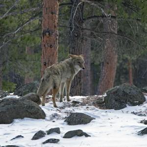 coyote0010