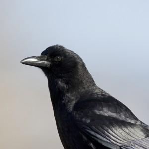crowraven0013