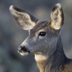 deer0006