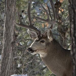 deer0016