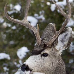 deer0017