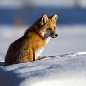 fox0005