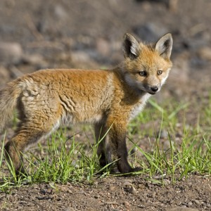 fox0010