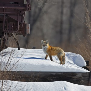 fox0017