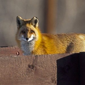 fox0019