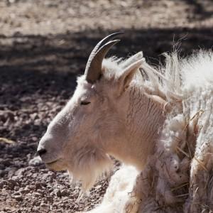 goat0001
