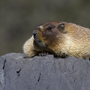 marmot0001