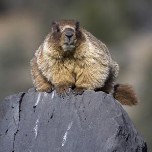 marmot0008