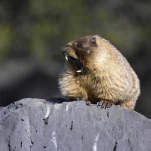 marmot0009