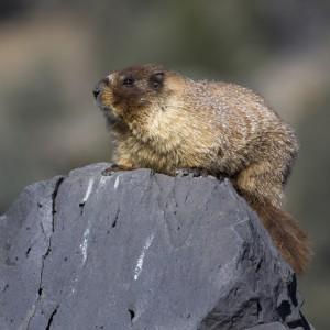 marmot0014