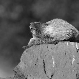 marmot0021