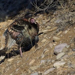 turkey0022