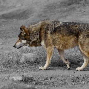 wolf0001