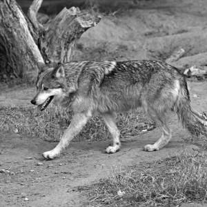 wolf0006