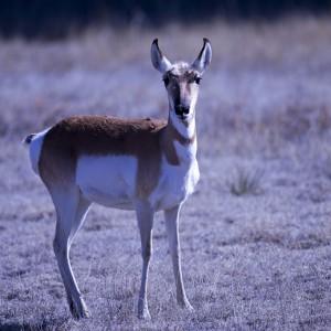 antelope0012