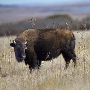 buffalo0007