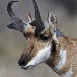antelope0014