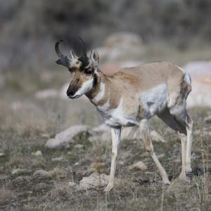 antelope0015