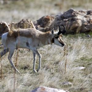 antelope0016