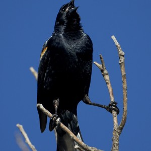 blackbird0023