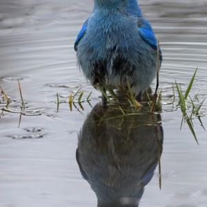 bluebird0015