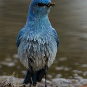 bluebird0016