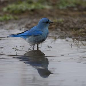 bluebird0017