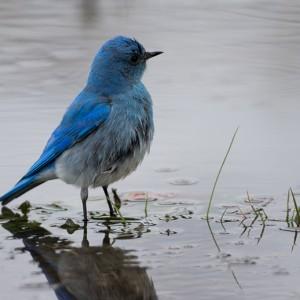 bluebird0018