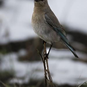 bluebird0019