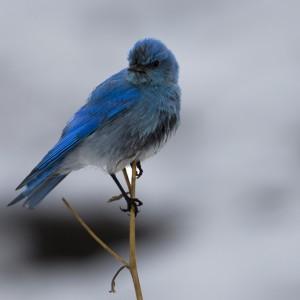 bluebird0020