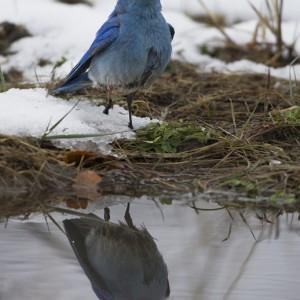 bluebird0021