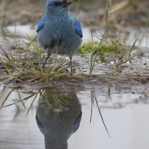 bluebird0022