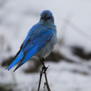 bluebird0023