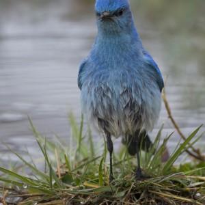 bluebird0024