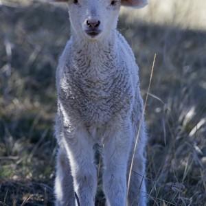 sheep0007
