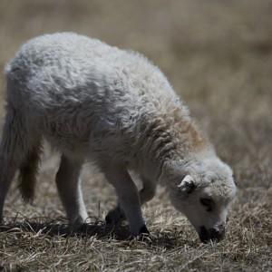 sheep0010